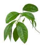 mokry cytryny gałęziasty drzewo Zdjęcie Royalty Free