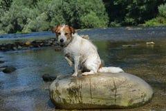 MOKRY JACK RUSSELL psa obsiadanie W DUŻYM kamieniu PO sztuki W RI zdjęcia royalty free