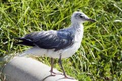 mokry kapiący seagull Obrazy Stock