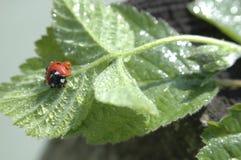 Mokry ladybird odpoczywa na liściu Obraz Stock