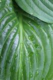 Mokry leluja liść Zdjęcie Stock