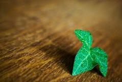 Mokry liścia bluszcz Zdjęcia Stock