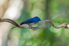 Mokry Męski Czarny monarcha, błękitny flycatcher ptak z czarnym pa Zdjęcie Royalty Free