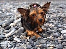Mokry mały pies Zdjęcia Royalty Free