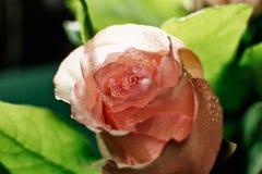 Mokry menchii róży pączek z kroplami wodny spływanie zestrzela Zdjęcia Stock