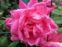 Mokry menchii róży zakończenie obrazy royalty free