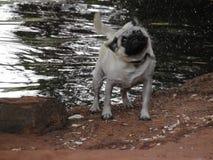 Mokry mops fotografia stock