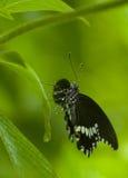 Mokry motyl na liściu zdjęcia royalty free