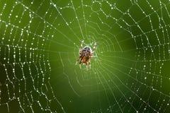 Mokry pająk Zdjęcia Stock