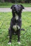 Mokry Pasterskiego psa obsiadanie na trawie Obraz Royalty Free