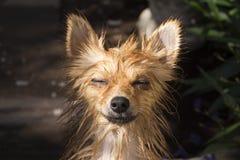 Mokry pies, zamknięty oko pies Zdjęcie Stock