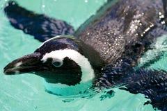 Mokry pingwin Fotografia Royalty Free