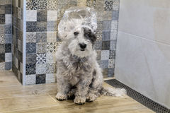 Mokry pudla pies bierze skąpanie obraz stock