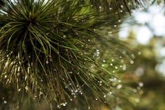 Mokry sosny zakończenie up zdjęcie royalty free