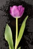 Mokry tulipan na czerni Obrazy Royalty Free