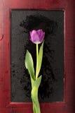 Mokry tulipan w ramie Obrazy Royalty Free