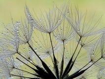 mokry zbliżenia dandelion obrazy stock