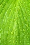 mokry zielony liść Zdjęcie Stock