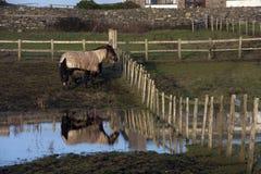 mokrzy śródpolni konie Zdjęcia Royalty Free