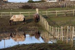 mokrzy śródpolni konie Zdjęcie Royalty Free