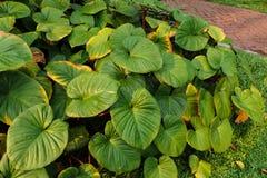 Taro liście. Obrazy Stock