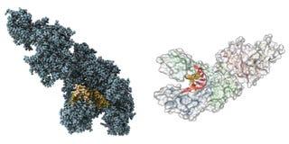 Molécula de la polimerasa de Taq Fotos de archivo libres de regalías