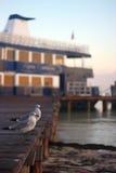 mol seagulls Obrazy Stock