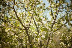 Mola Árvores de Apple na flor Flores da maçã flores brancas de ascendente próximo de florescência da árvore Abricó bonito da mola Fotografia de Stock Royalty Free