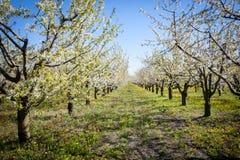 Mola Árvores de Apple na flor Flores da maçã flores brancas de ascendente próximo de florescência da árvore Abricó bonito da mola Fotos de Stock