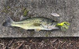 Mola adiantada Bass Catch foto de stock royalty free