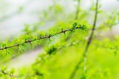 Mola adiantada, close-up novo do larício, conceito da mola, estações, tempo Ramo de árvore conífera fresco, natural moderno Foto de Stock