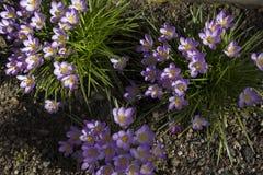 A mola adiantada floresce, em Éstocolmo, a Suécia Imagem de Stock Royalty Free