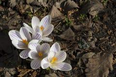 A mola adiantada floresce, em Éstocolmo, a Suécia açafrão Imagens de Stock Royalty Free
