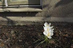 A mola adiantada floresce, em Éstocolmo, a Suécia Açafrão branco Imagens de Stock Royalty Free