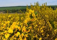 Mola amarela Imagens de Stock Royalty Free