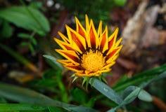 Mola amarela da flor exterior Imagens de Stock Royalty Free