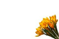 A mola amarela floresce o açafrão isolado no fundo branco Fotografia de Stock