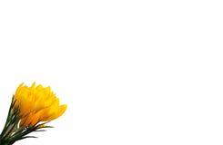 A mola amarela floresce o açafrão isolado no fundo branco Foto de Stock Royalty Free