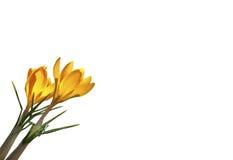 A mola amarela floresce o açafrão isolado no fundo branco Fotos de Stock