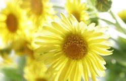 A mola amarela floresce o close-up Foto de Stock Royalty Free