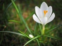 A mola amarela floresce, os açafrões na grama, flores no peixe-agulha Imagem de Stock