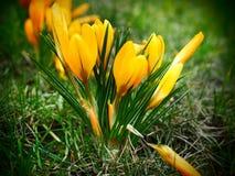 A mola amarela floresce, os açafrões na grama, flores no peixe-agulha Fotos de Stock Royalty Free