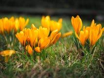 A mola amarela floresce, os açafrões na grama, flores no peixe-agulha Fotos de Stock