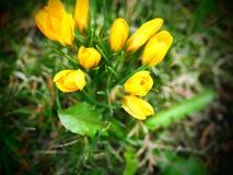 A mola amarela floresce, os açafrões na grama, flores no peixe-agulha Fotografia de Stock