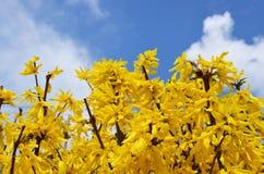 Mola Arbustos amarelos da forsítia da mola imagem de stock