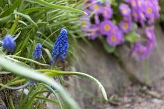 A mola azul e cor-de-rosa floresce, prímulas, jacinto, grama verde Fotografia de Stock