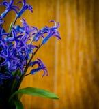 A mola azul floresce com folhas verdes em um backgroun de madeira velho Foto de Stock