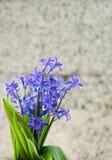 A mola azul floresce com folhas verdes em um fundo alaranjado Imagem de Stock