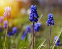 A mola azul floresce o jacinto de uva Imagem de Stock Royalty Free