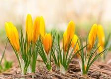 A mola bonita floresce açafrões amarelos Fotos de Stock Royalty Free